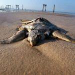 Centinaia di tartarughe trovate morte nel Pacifico. Le autorità ambientali messicane hanno recuperato 300 tartarughe marine minacciate di estinzione