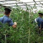 """Sequestrata circa una tonnellata di """"Marijuana"""". Inmanette una coppia di agricoltori"""