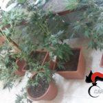 """Scoperta coltivazione casalinga a Ravanusa (Ag). Sequestrato oltre mezzo chilo di """"Marijuana""""."""