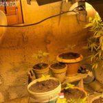 """Scoperta coltivazione """"fai da te"""" a Favara (Ag). Sequestrate 14 piante di """"Marijuana"""", del peso complessivo di oltre sette etti."""