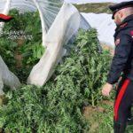 """Coltivavano la """"Marijuana"""" fra le zucchine. Due persone in manette."""