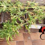 Coltivava in casa delle piantine di marijuana. Denunciato trentenne