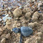 Lido Cannatello, questa mattina venute alla luce 41 tartarughe caretta-caretta