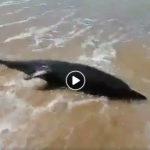 Siculiana. Trovato delfino agonizzante sulla spiaggia di Bovo Marina (VIDEO)