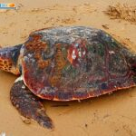 Agrigento. Tartaruga Caretta Caretta rinvenuta sulla spiaggia di Maddalusa salvata dall'ass. Mareamico