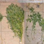 Licata. Coltivava marijuana. Arrestato bracciante agricolo