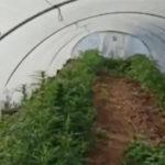 Invece dei meloni, una serra di cannabis: padre e figlio denunciati a Licata