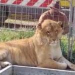 """Coronavirus. """"Un ruggito di aiuto dagli animali dei circhi siciliani"""" (VIDEO)"""